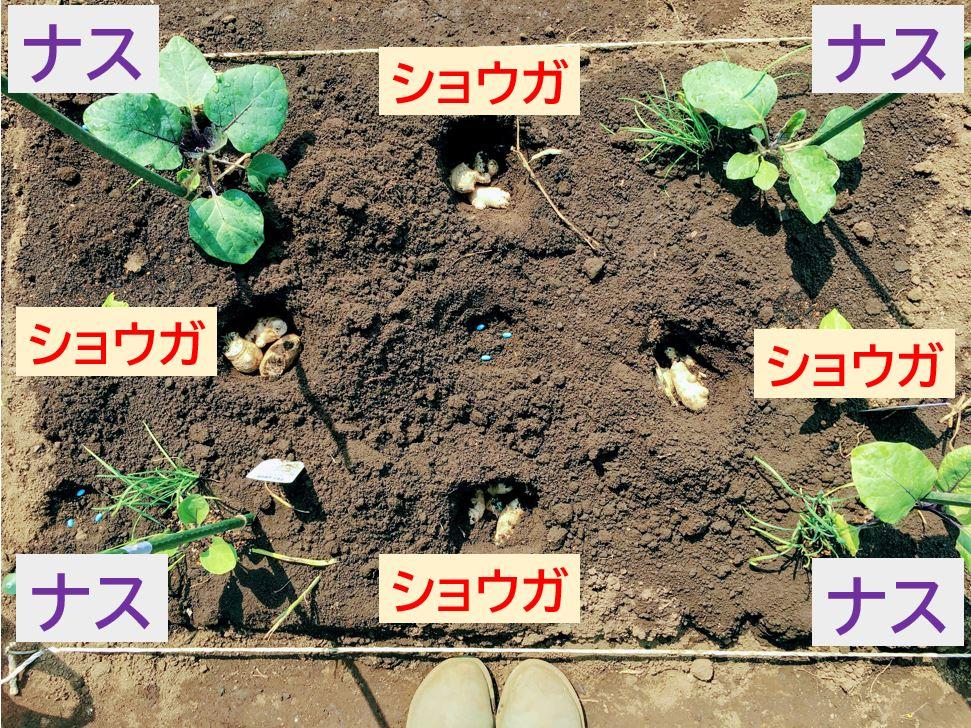 eggplant,ginger-1