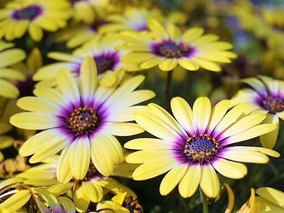 Osteospermum_blueeye-beauty2