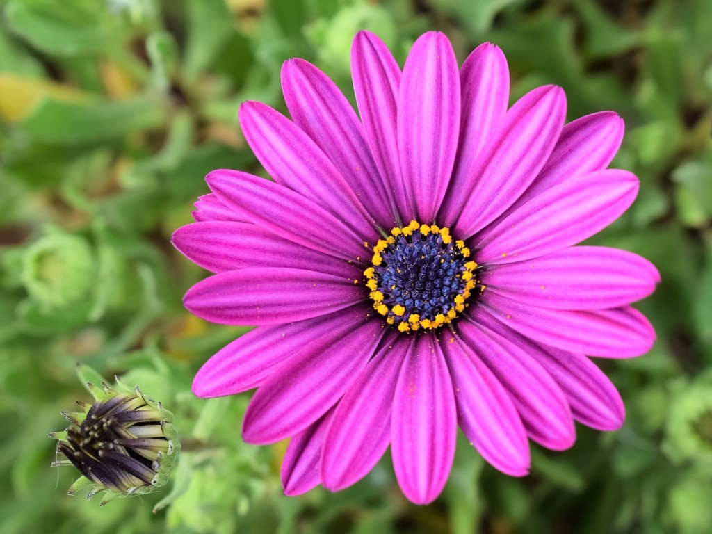 Osteospermum_flower core
