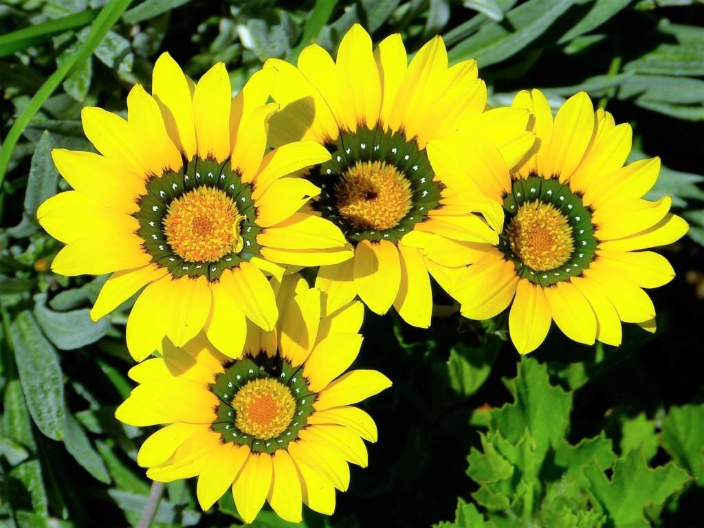 Osteospermum_flower core2