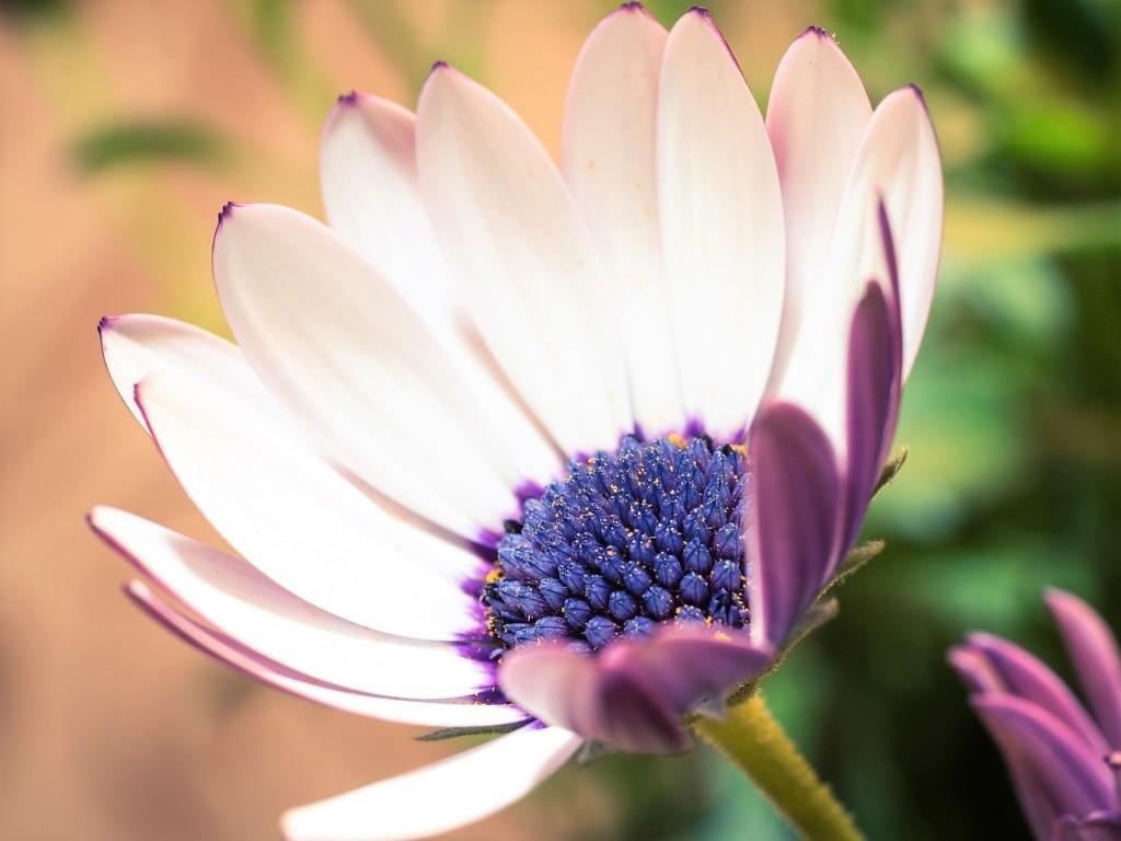 Osteospermum_petal2