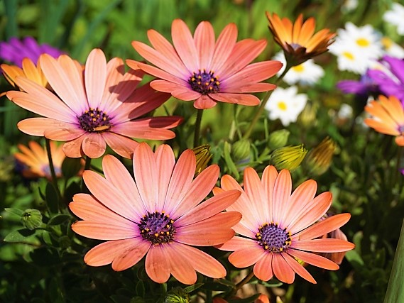 Osteospermum_prince-orange-ring