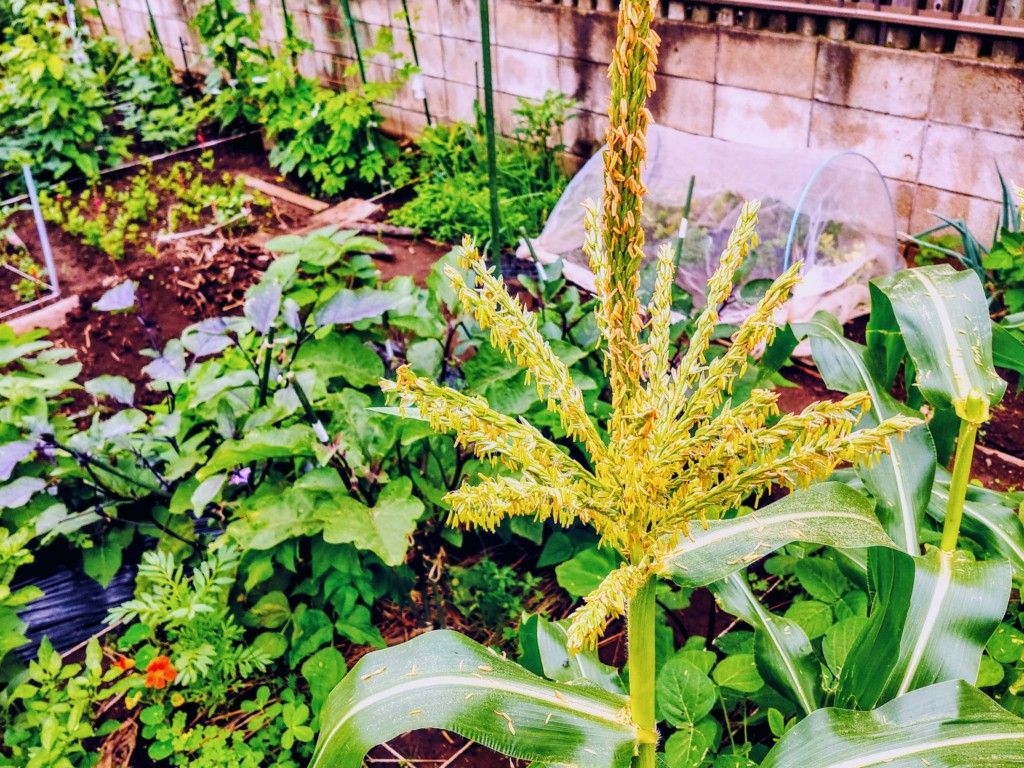 corn-5