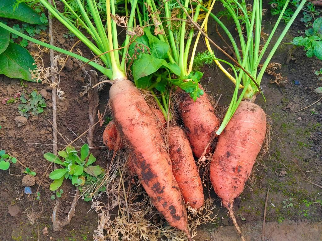 carrot-20201122-2