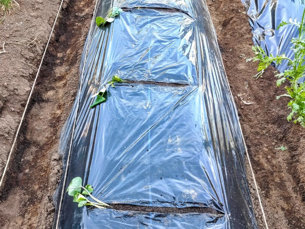 sweetpotato,companionplants (13)