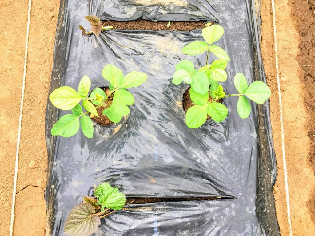 sweetpotato,companionplants (20200618)