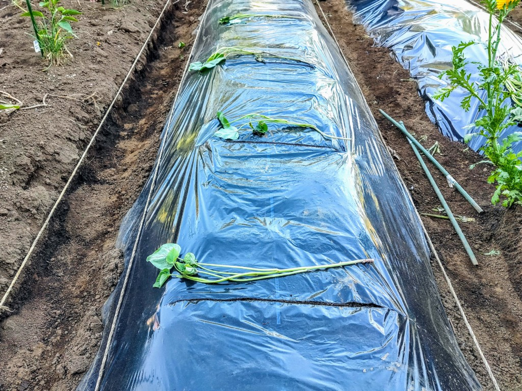 sweetpotato,companionplants (8)