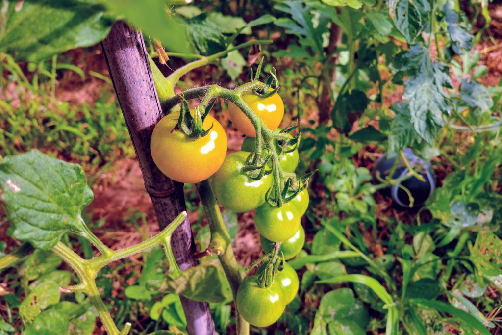 20210721_tomato,haijikusetsudan-2★