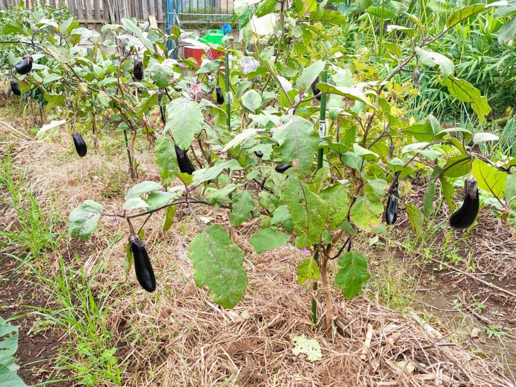 20211019_nasu,eggplants●