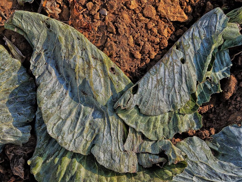 cabbage-7