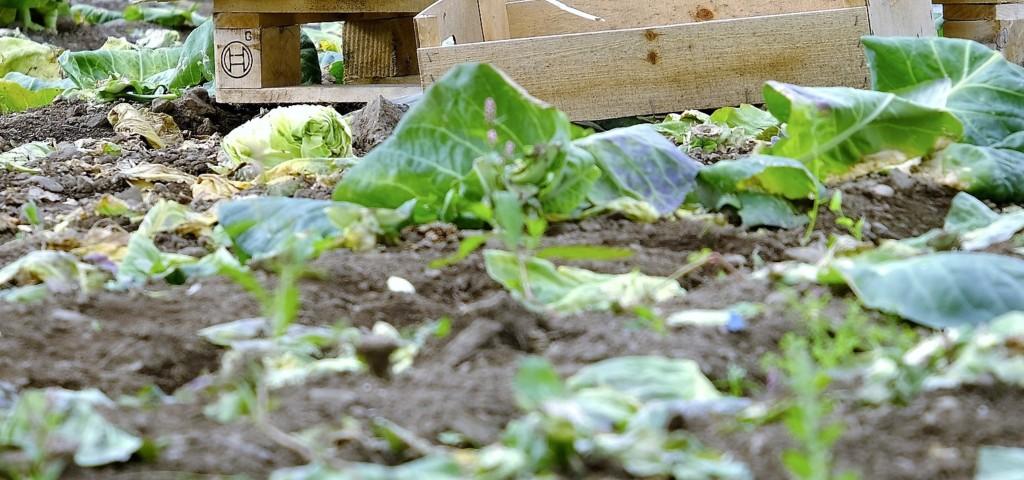 cabbage-9