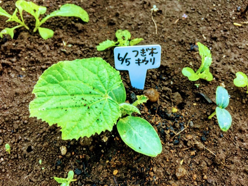 cutting,eggplant-20200617