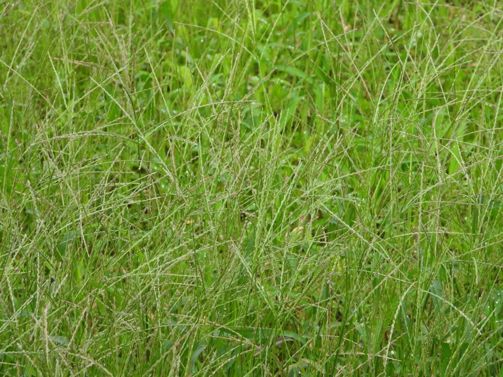 grass,weed,mehishiba,メヒシバ