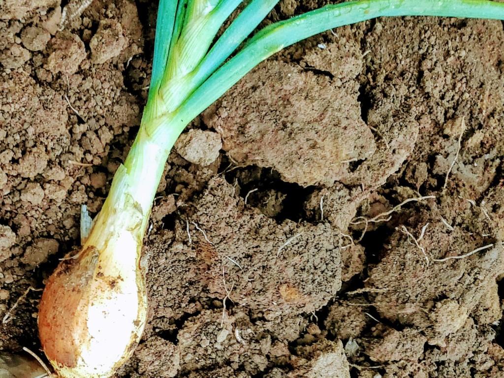 onion-10