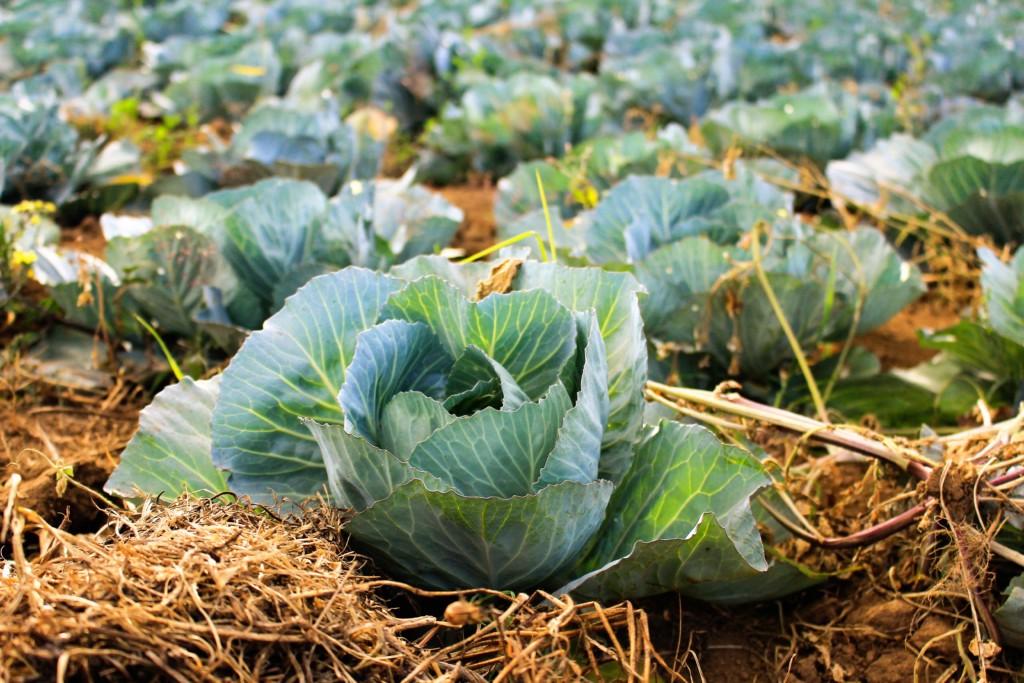 shikiwara,cabbage