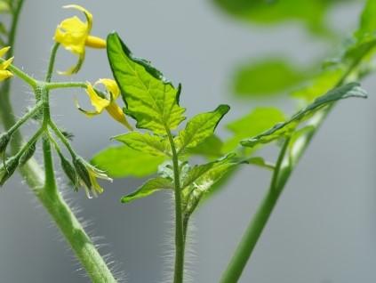 tomatoes-armpit-3