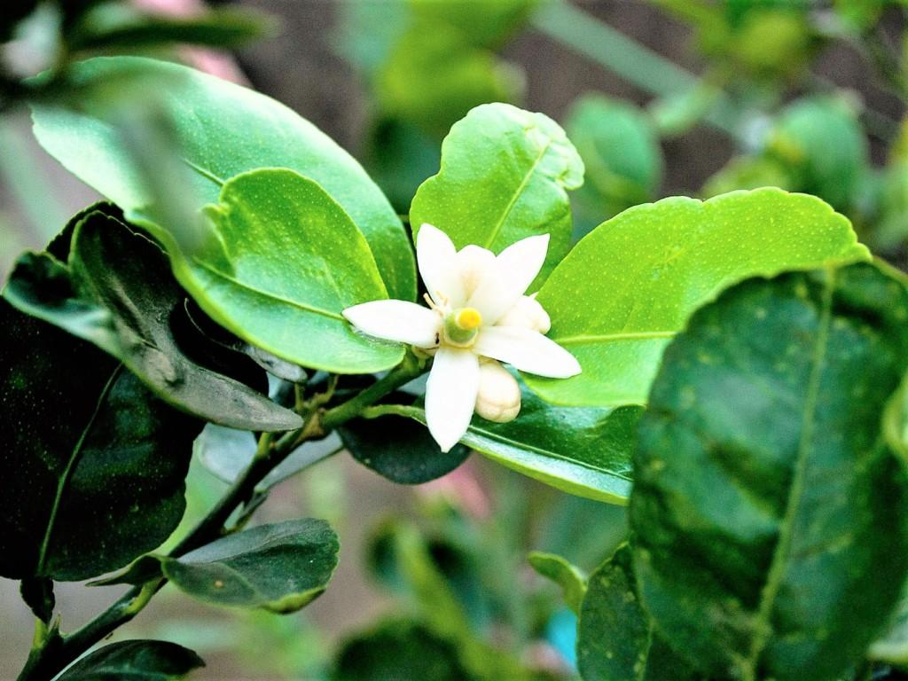 aromaoil,clove-6