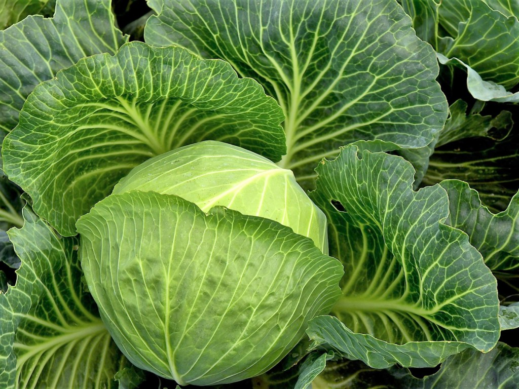 cabbage-12