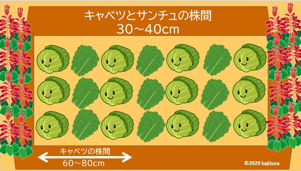 cabbage,sanchu