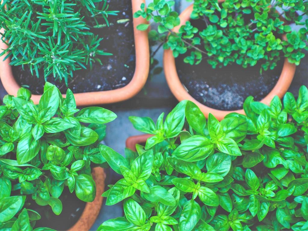 herb,basil,rosemary