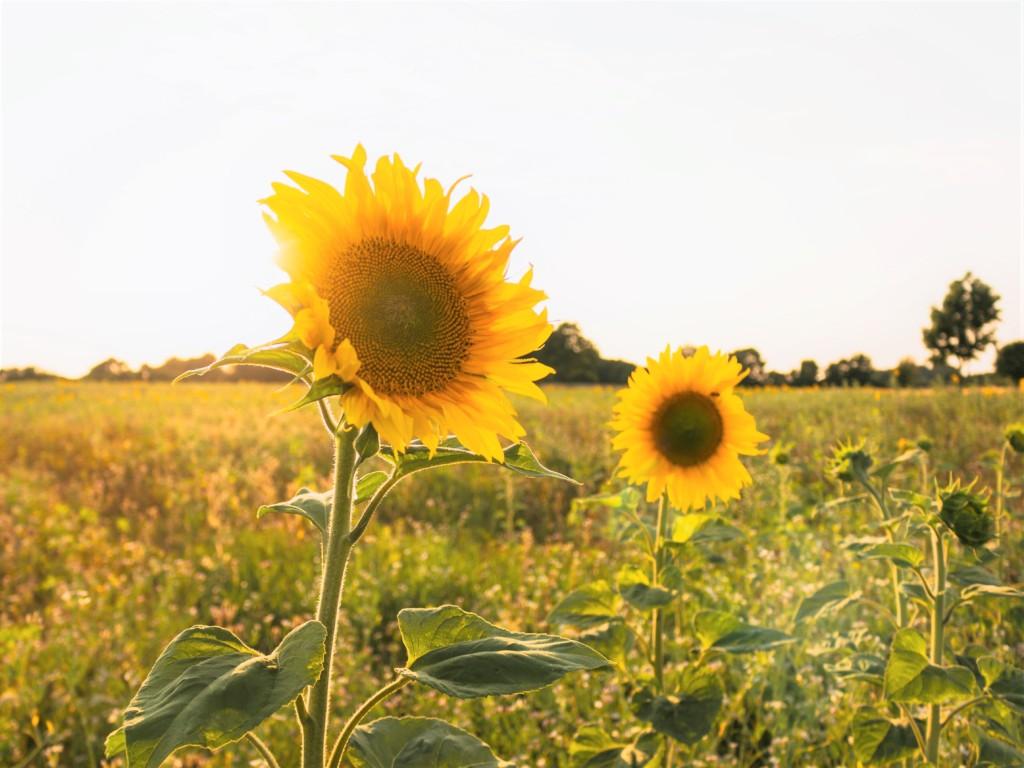 himawari,sunflower-3