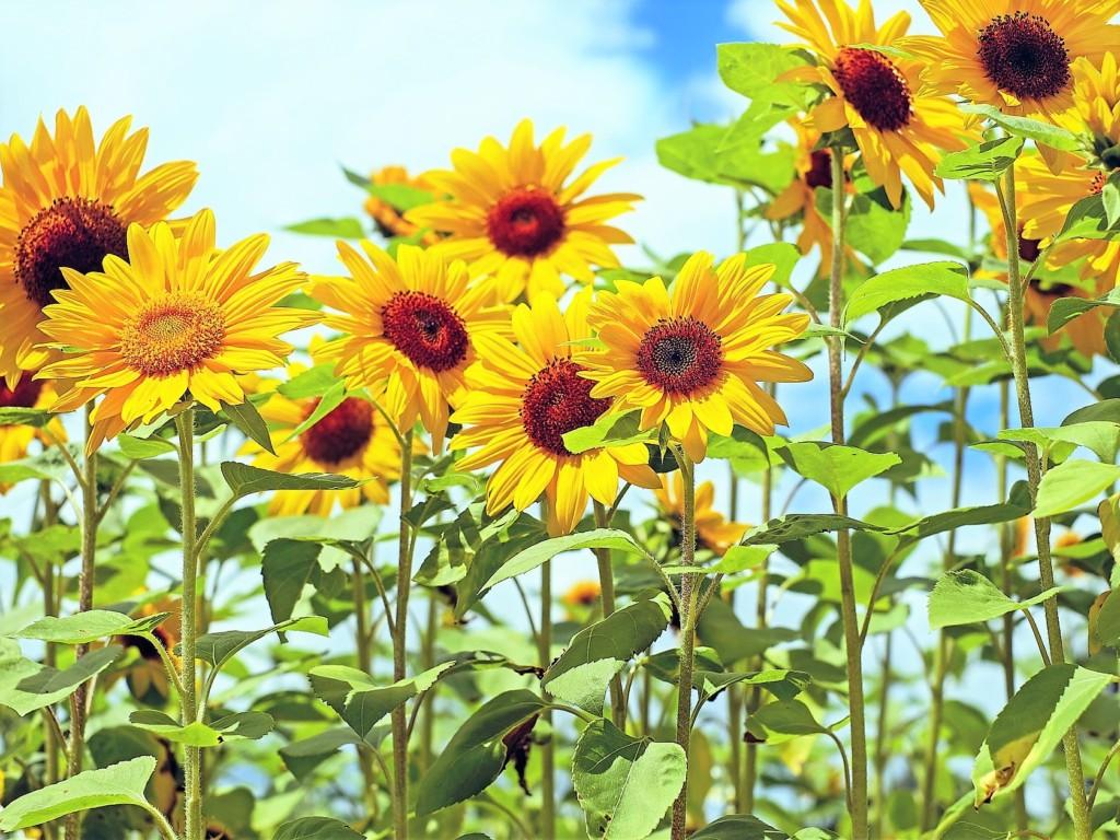 himawari,sunflower-8