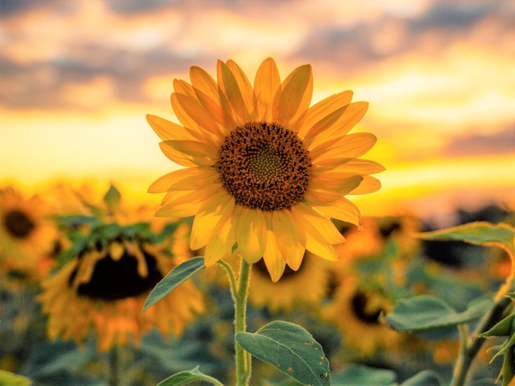 himawari,sunflower