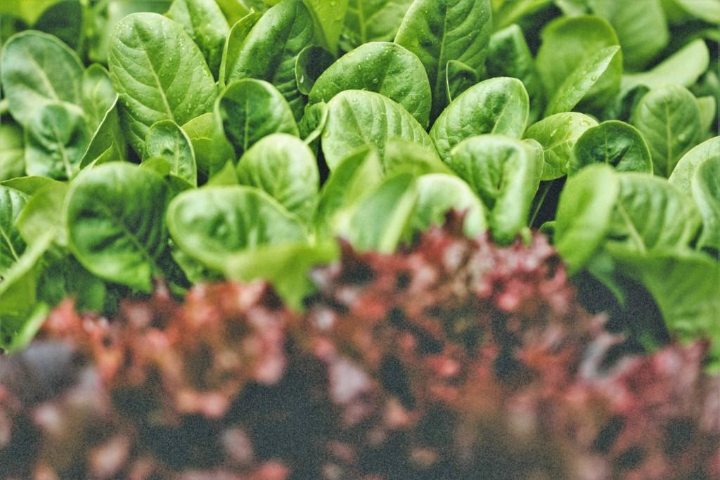 komatsuna,lettuce-2