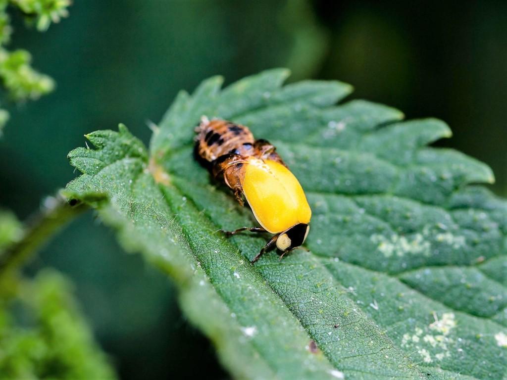 ladybird,kiirotento