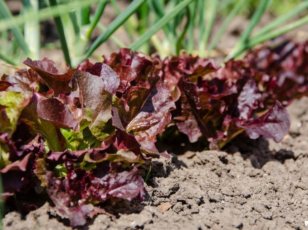 lettuce-10