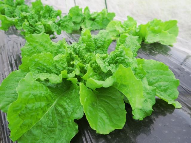 lettuce,sanchu (12)