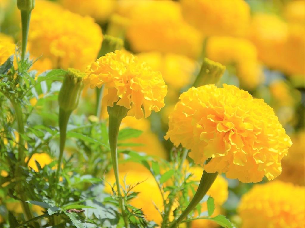 marigold-12
