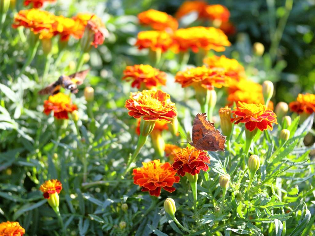 畑をお掃除 マリーゴールドのコンパニオンプランツ栽培 効果と種類 植え方のポイントをご紹介いたします カジトラ