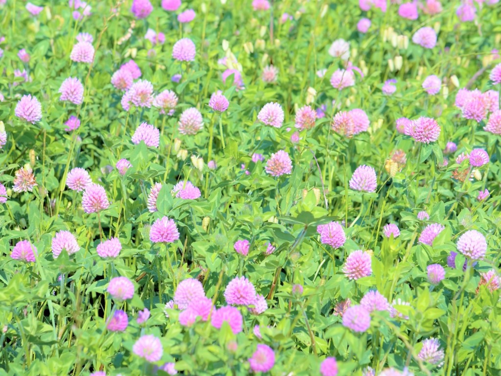 red_clover-2