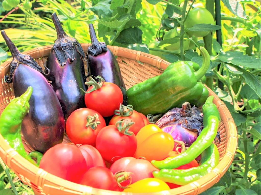 solanaceae-3,tomato,nasu,pimento