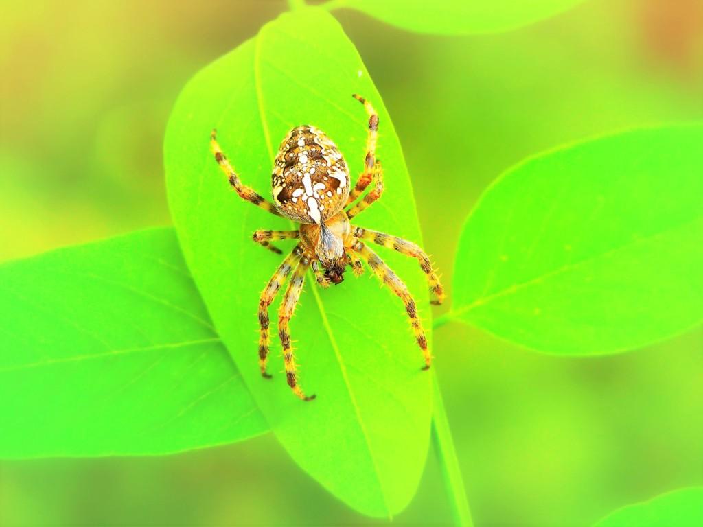 spider,kumo