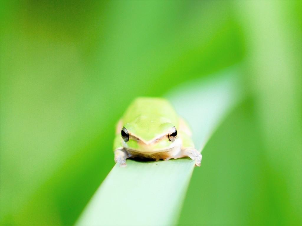 tree frog-2