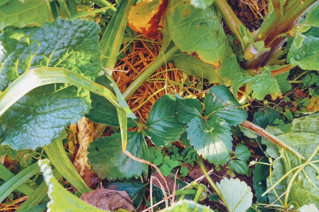 20201201_strawberry,negi,boriji,coriander-3