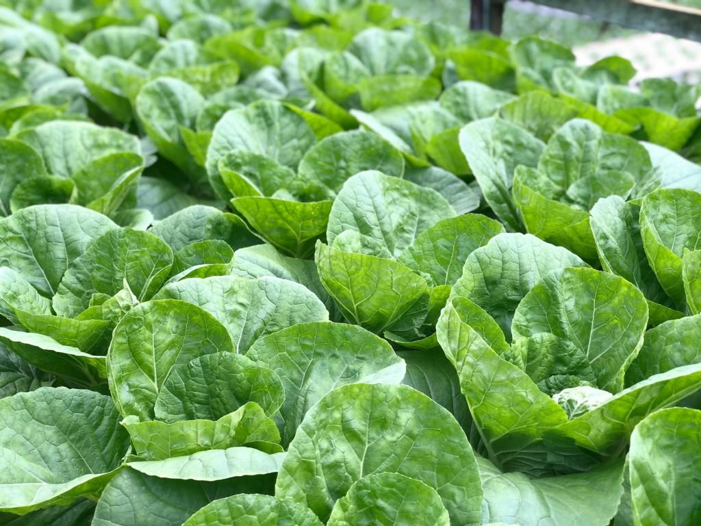 cabbage-14
