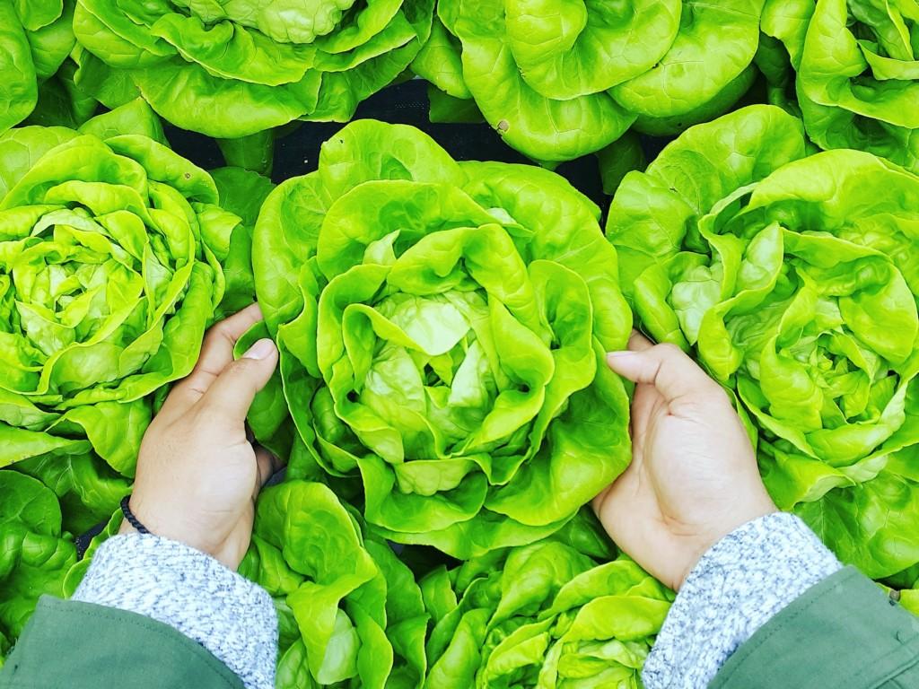 cabbage-15