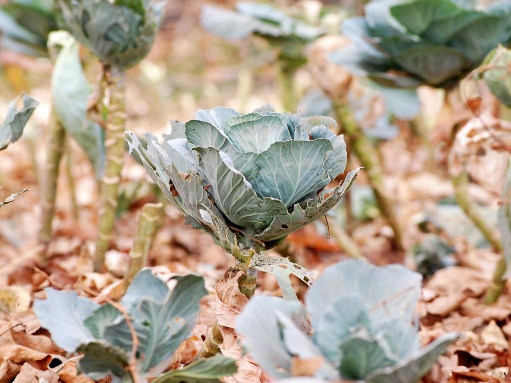 cabbage-16