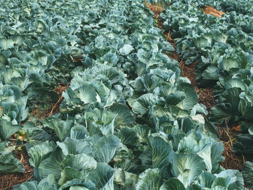 cabbage-17