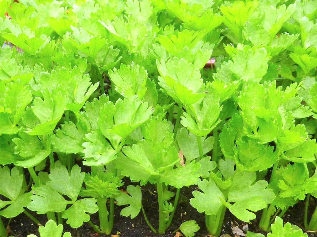 celery-103