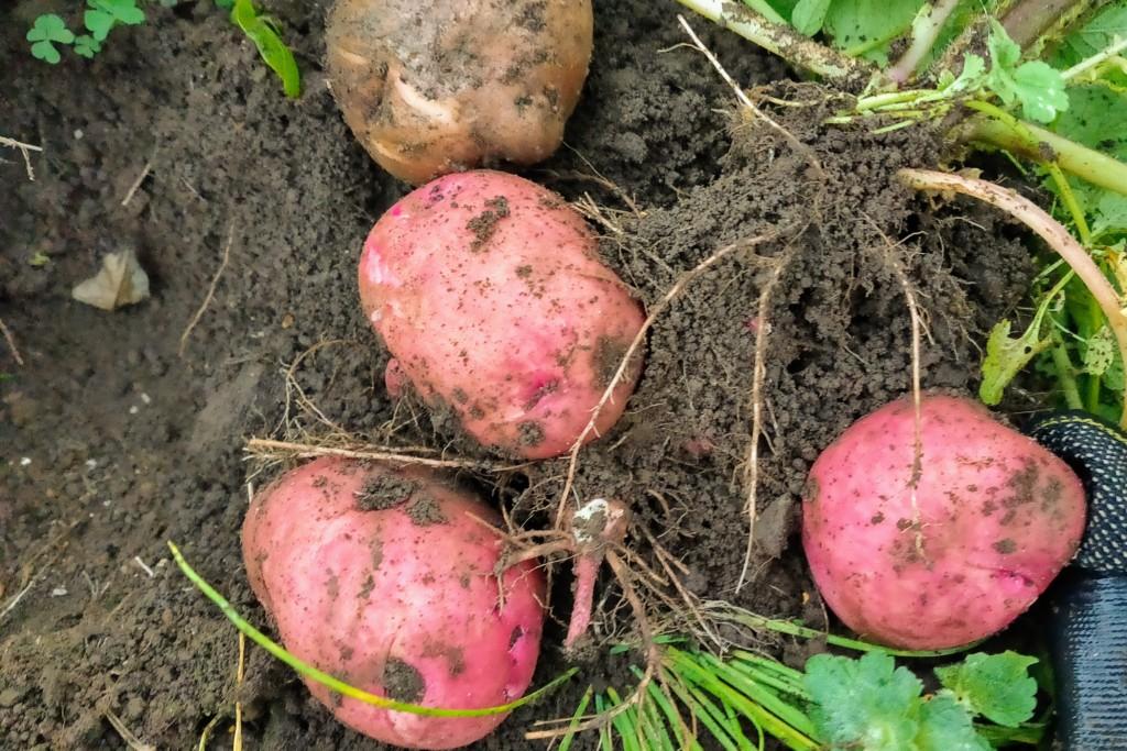 potato,Andes,20201204-2