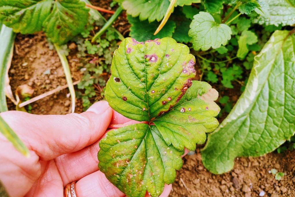 strawberry,boriji,20201030