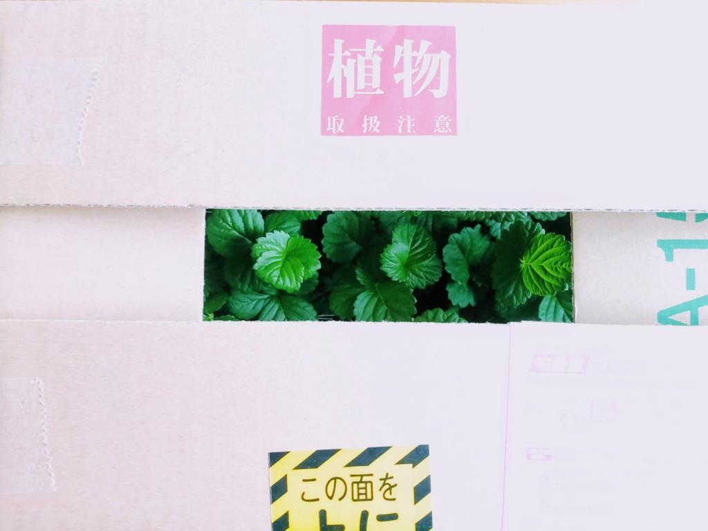 strawberry,negi_20200916-14