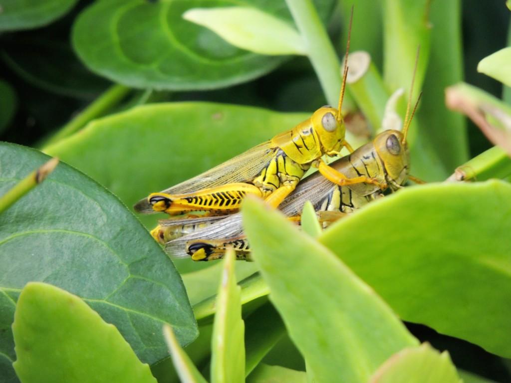 BATTA,Locust-3