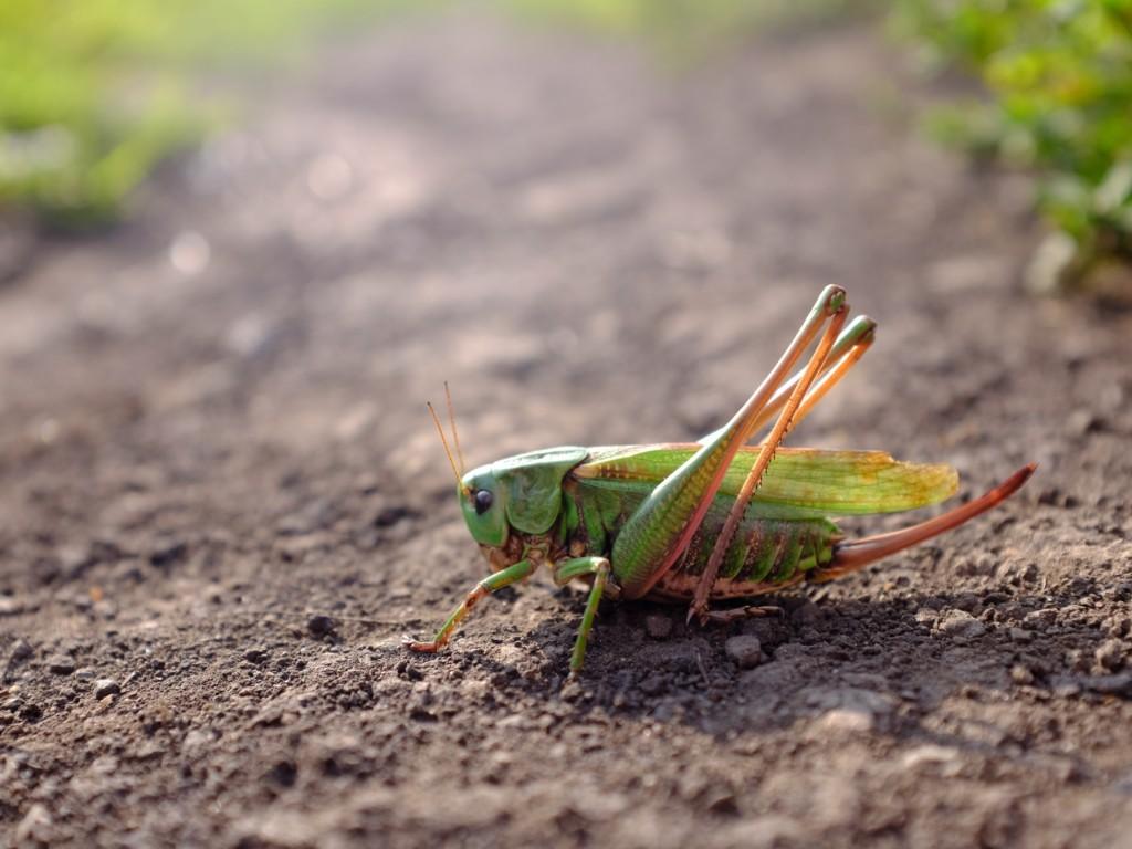 BATTA,Locust