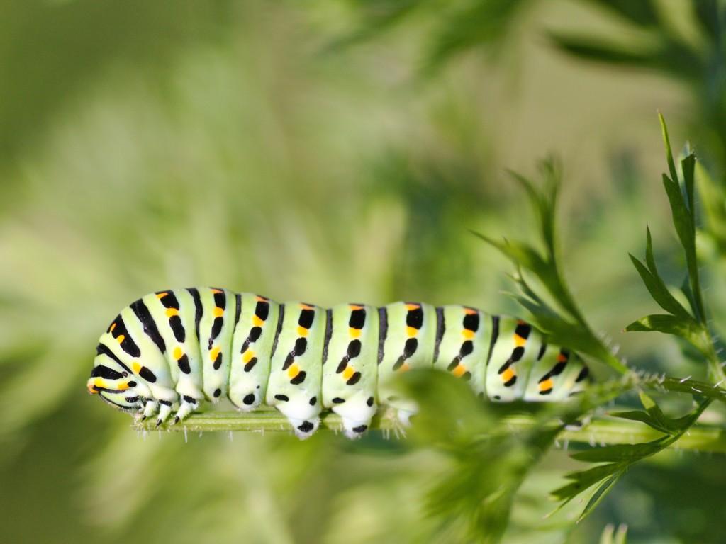 Papilio machaon-2,kiageha
