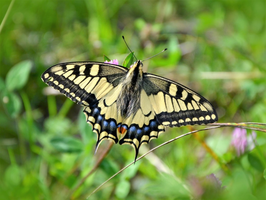 Papilio machaon-3